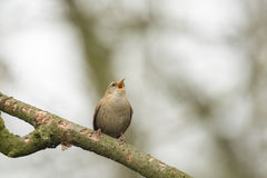Eurasian Wren (Troglodytes troglodytes). Singing in a forest during breeding season Stock Images