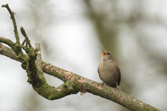 Eurasian Wren (Troglodytes troglodytes). Singing in a forest during breeding season Royalty Free Stock Photo