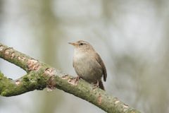Eurasian Wren (Troglodytes troglodytes). Singing in a forest during breeding season Stock Photos
