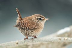Eurasian Wren Troglodytes troglodytes.Wild bird in a natural habitat.  stock photo