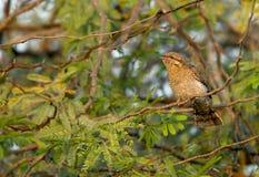Eurasian Wryneck appollaiato su un albero fotografia stock libera da diritti
