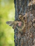 Eurasian Wryneck, Jynx torquilla is just leaving its nest stock images