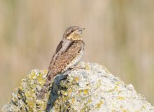 Eurasian Wryneck (Jynx torquilla) on a rock Royalty Free Stock Image