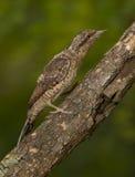 Eurasian Wryneck (torquilla del Jynx) fotografia stock libera da diritti