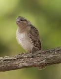 Eurasian Wryneck (torquilla del Jynx) fotografia stock