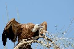Eurasianen den Griffon gammet Gyps fulvusen som av tar BIKANER Arkivfoto