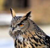 Eurasianen Eagle Owl, Bubobubo i en tysk natur parkerar royaltyfri fotografi