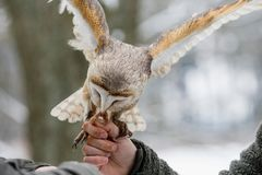 Eurasianen Tawny Owl, Strixaluco, matas från handen av falkeneraren i träna i vintern Eurasianen Tawny Owl flyger hennes mea Fotografering för Bildbyråer