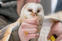 Eurasianen Tawny Owl, Strixaluco, matas från handen av falkeneraren i träna i vintern Eurasianen Tawny Owl flyger hennes mea Arkivbilder