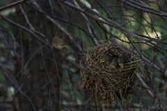 Eurasiangärdsmyg som matar dess fågelungar Royaltyfria Bilder
