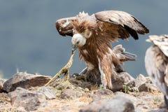 EurasianGriffon Gyps fulvus Fotografering för Bildbyråer