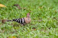 Eurasianhoopoe som äter felet Fotografering för Bildbyråer