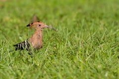 Eurasianhoopoeanseende på gräs Fotografering för Bildbyråer