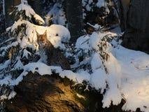 eurasianlodjur Arkivfoton