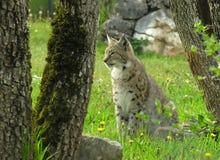 eurasianlodjur Royaltyfri Foto