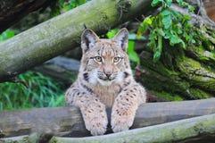 Eurasianlodjur royaltyfria bilder
