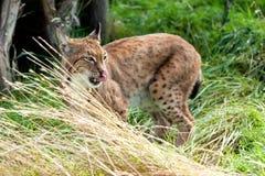 Eurasianlodjur i långt gräs som slickar näsan Arkivfoton
