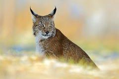 Eurasianlodjur, lös katt på snöäng i vinter Royaltyfri Bild