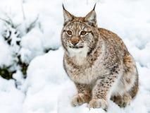 Eurasianlodjur, lodjurlynnx som sitter i snön royaltyfri foto