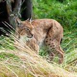 Eurasianlodjur som stryker omkring till och med långt gräs Royaltyfria Foton