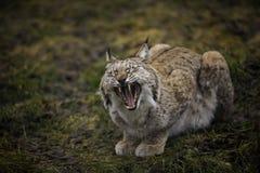 Eurasianlodjuret gäspar och visar stora och skarpa tänder Närbildstående av den lösa katten i den naturliga miljön Arkivbild