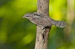 Eurasiannackspärr (Jynxtorquillaen) Arkivbilder