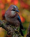 Eurasiannötskrikan med hösten färgar runt om den Fotografering för Bildbyråer