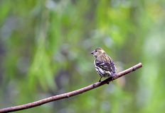 EurasianSiskin Stock Photo