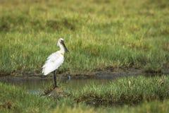 Eurasianspoonbill i den Arugam fjärdlagun, Sri Lanka Arkivfoto