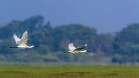 Eurasianspoonbill i den Arugam fjärdlagun, Sri Lanka Royaltyfria Bilder