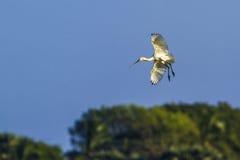 Eurasianspoonbill i den Arugam fjärdlagun, Sri Lanka Fotografering för Bildbyråer