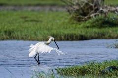 Eurasianspoonbill i den Bundala nationalparken, Sri Lanka Fotografering för Bildbyråer