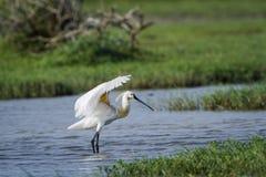 Eurasianspoonbill i den Bundala nationalparken, Sri Lanka Arkivfoto