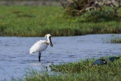 Eurasianspoonbill i den Bundala nationalparken, Sri Lanka Royaltyfri Bild