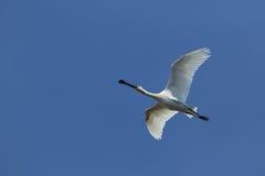EurasianSpoonbill i flyg Arkivfoto