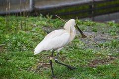 EurasianSpoonbill med en pinne Royaltyfri Fotografi