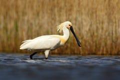 EurasianSpoonbill, Platalealeucorodia, i vattnet, detaljstående av fågeln med den långa plana räkningen, Camargue, Frankrike Royaltyfri Fotografi