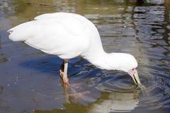 EurasianSpoonbill, Platalealeucorodia, näbb för jaktmatlägenhet Fotografering för Bildbyråer