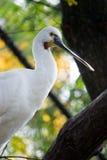 EurasianSpoonbill (Platalealeucorodiaen) Arkivfoton