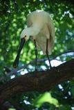 EurasianSpoonbill (Platalealeucorodiaen) Fotografering för Bildbyråer