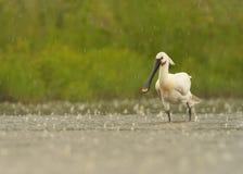EurasianSpoonbill, sällsynt whaitefågel i grunt vatten i regnet Arkivfoton