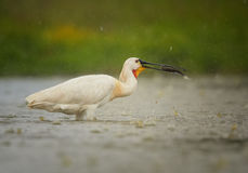 EurasianSpoonbill, sällsynt whaitefågelfiske i regnet Royaltyfri Foto