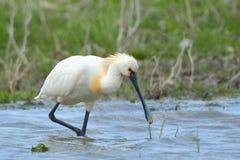 EurasianSpoonbill som söker mat i grunt vatten Arkivfoto