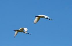 EurasianSpoonbills, platalealeucorodiaflyg Arkivfoton