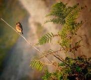 Eurasianträdsparv (förbipasserandemontanus) över filial Arkivfoton