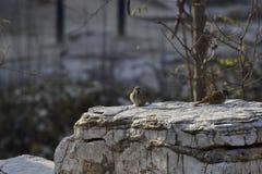 Eurasianträdsparv i parkera arkivfoton