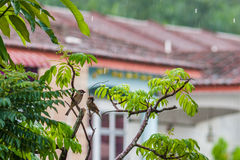 Eurasianträdsparvar i regnet Royaltyfria Bilder