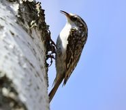 Eurasiantreecreeper eller gemensamma treecreeperCerthiafamiliaris Fotografering för Bildbyråer