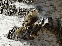 Eurasiantreecreeper eller gemensamma treecreeperCerthiafamiliaris Arkivbilder