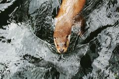 Eurasianutter i vatten Royaltyfri Fotografi
